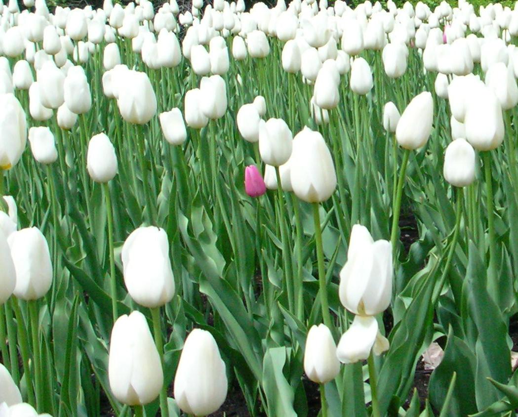 flowers for flower lovers.: White tulips flowers. White Tulip Flower