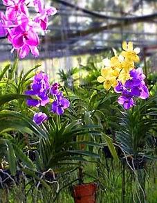 Thai Orchid Culture