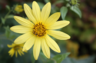 Lemon Queen helianthus