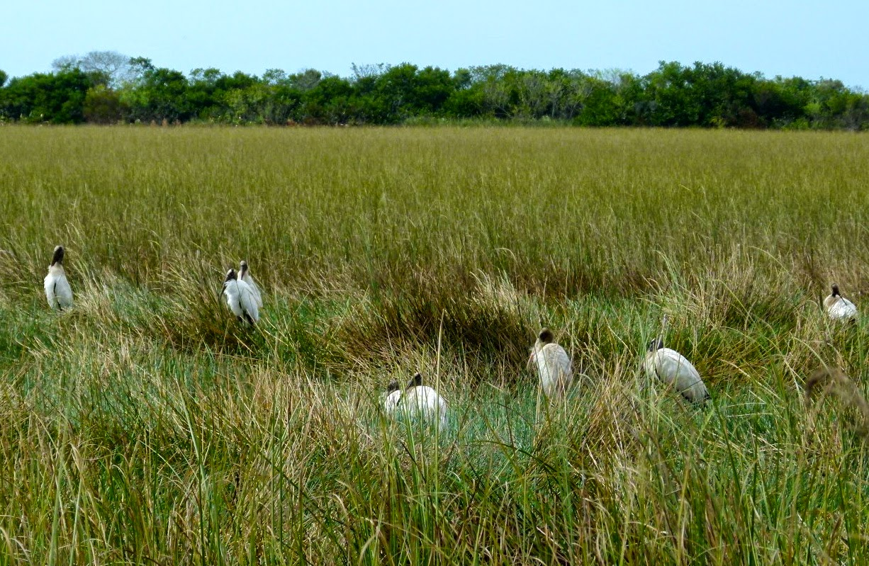 Wood storks resting in Shark Valley, Everglades national Park