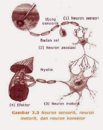 Macam-macam neuron
