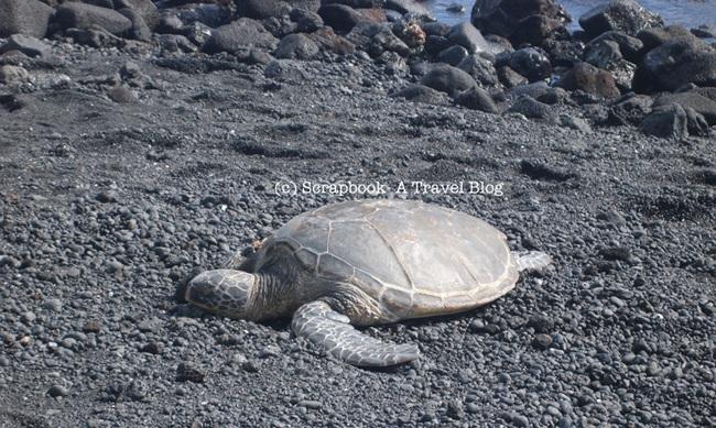 Hawaii Big Island Punaluu Black sand beach honu green turtle