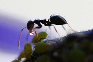 Semut dan Aphid