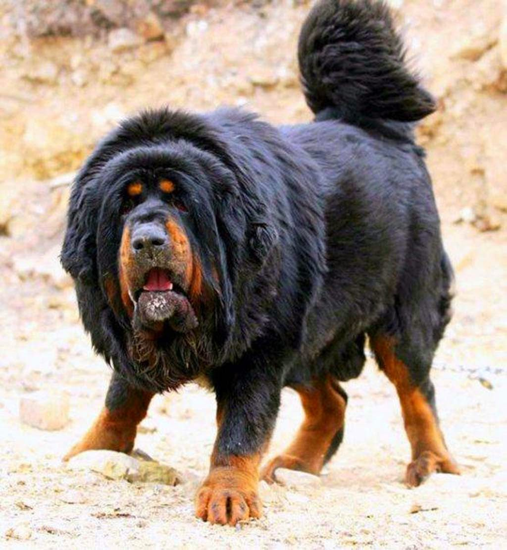 Tiger Woods Dogs Breed