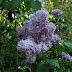 Got Lilacs?