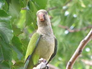 Green Monk Parrot in my Apple Tree