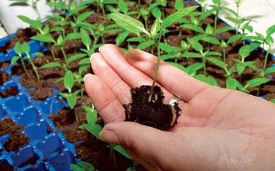 как вырастить: рассада цветов