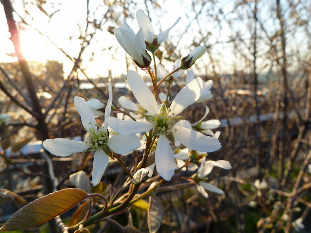 Amelanchier blossoms at the High Line park, New York City