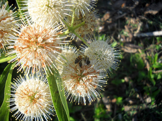 Bee visiting Cephalanthus occidentalis at White Rock Lake, Dallas, TX
