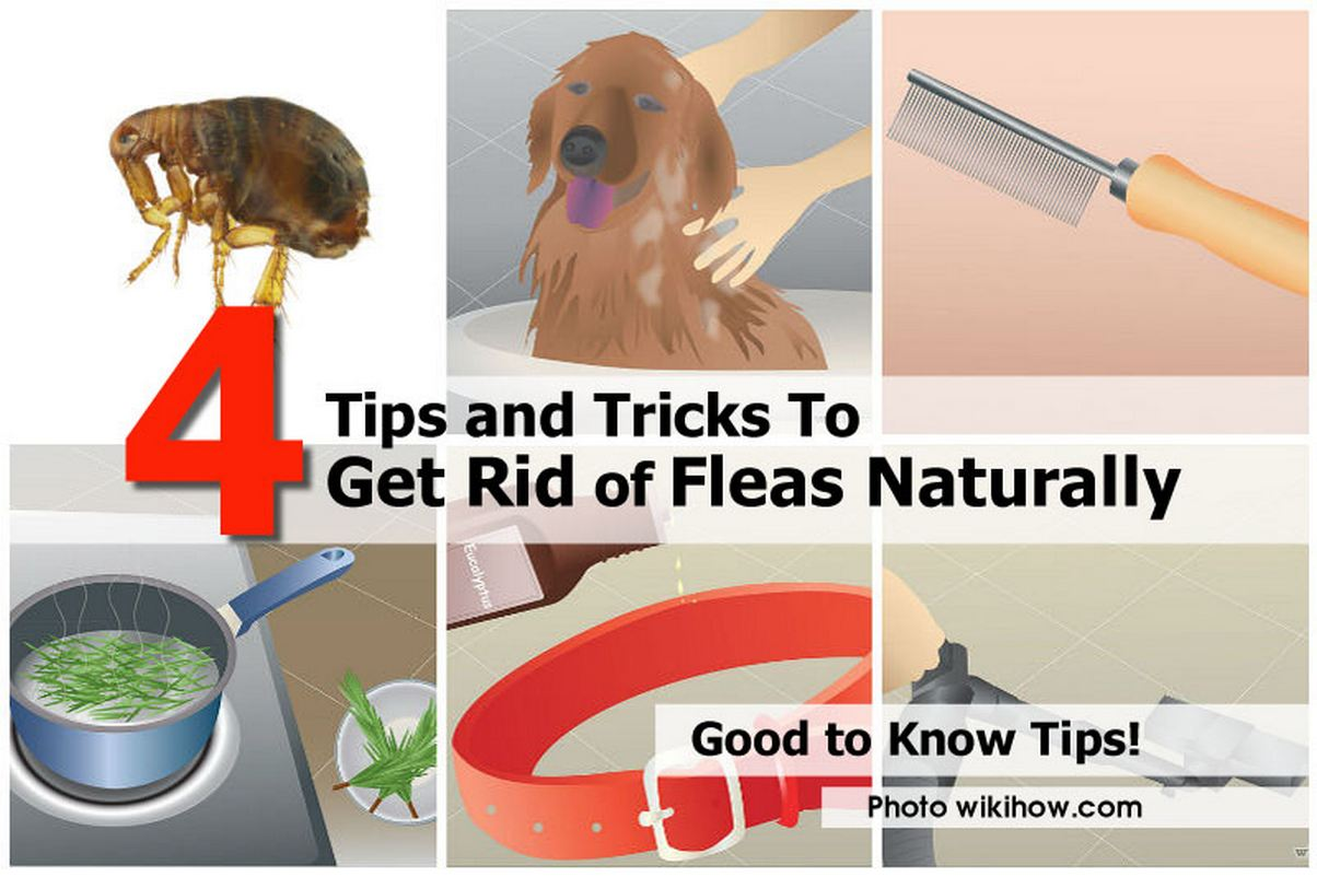 how to get rid of fleas naturally idees and solutions