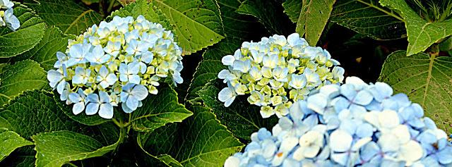 Imagem de flores azuis com folhas verdes