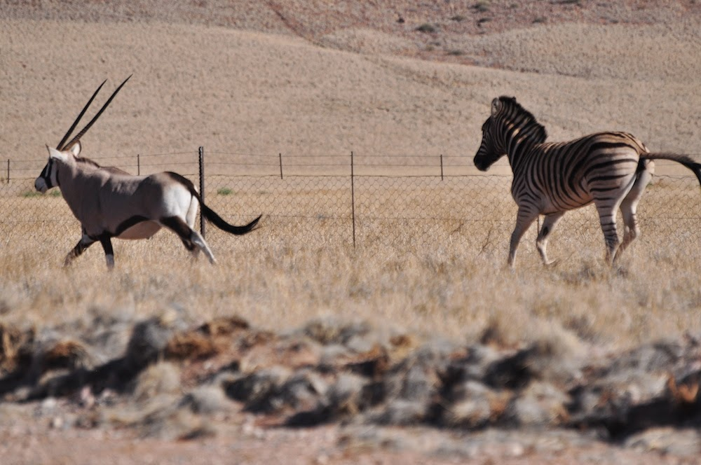 zebras running from predator - photo #11