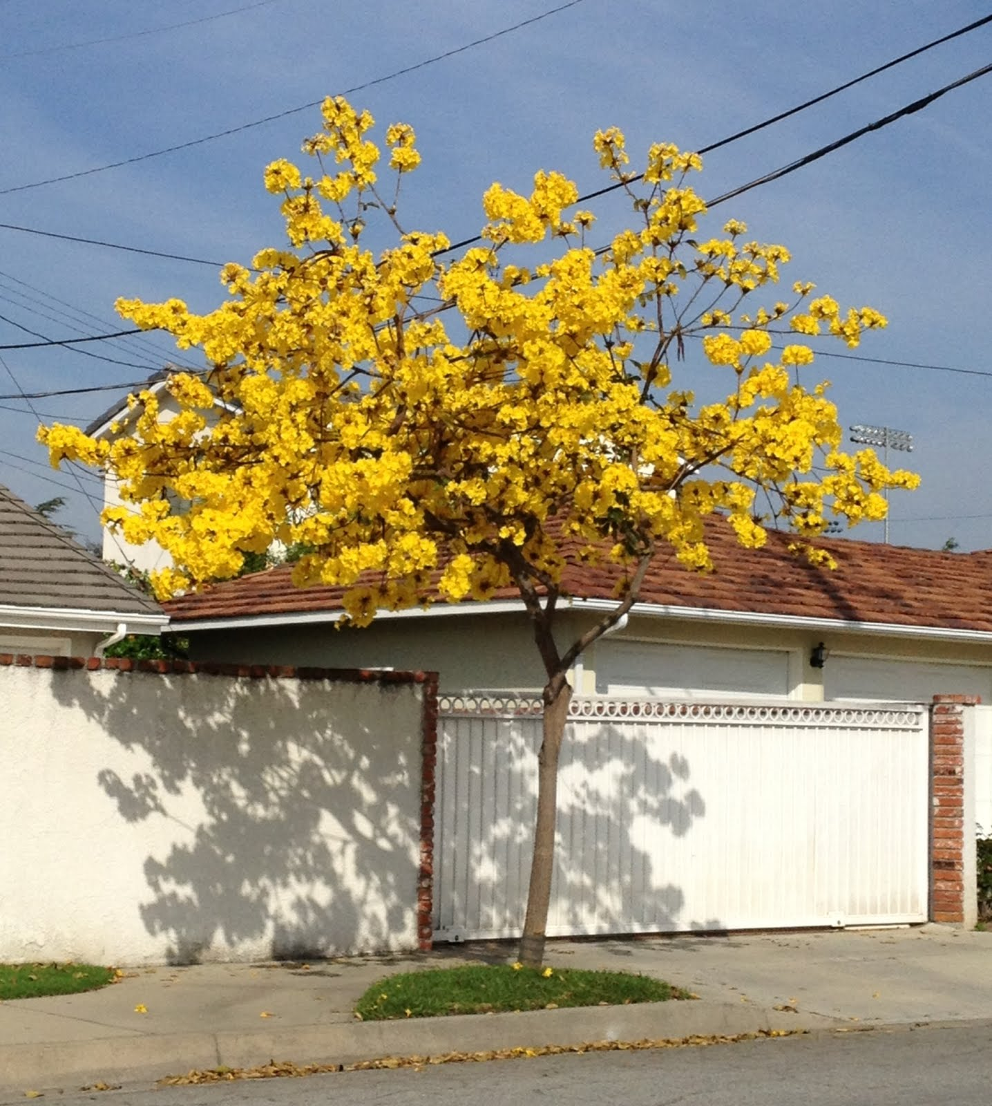 Aprilles Socal Gardening Yellow Tree