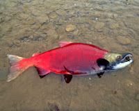 alaska pink salmon