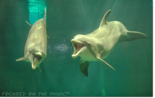 getting Get up close and personal in the water with Atlantic Bottlenose dolphins.