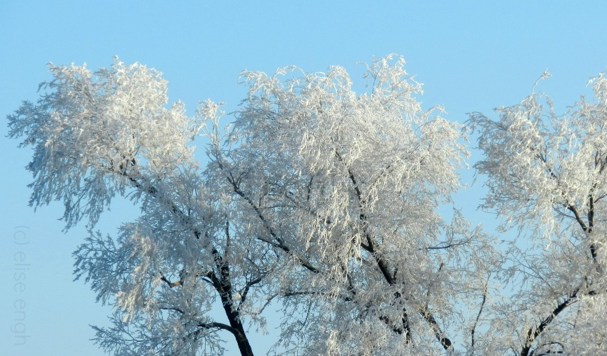 winter tree with frost