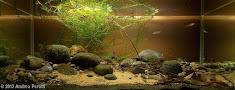 Rhodeus amarus biotope