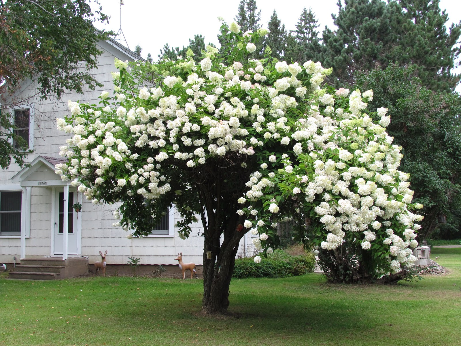 how to take cuttings chinese snowball tree