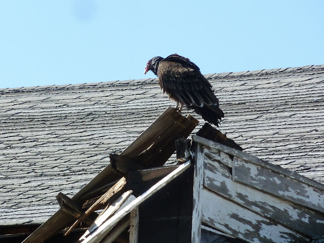 Turkey vulture on rooftop at Floyd Bennett Field