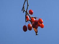 秋晴れにサンシュユの実が赤く色付いていた。