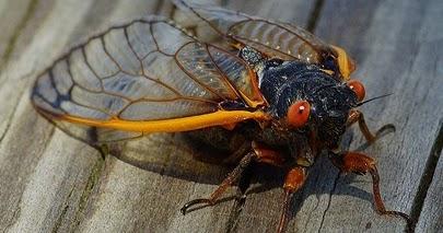 Can Dogs Eat Cicadas
