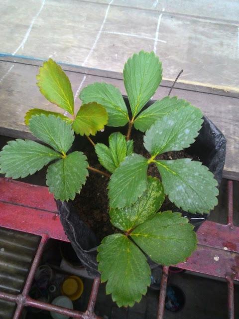 Tanaman Strawberry Milik Pak Herryanto