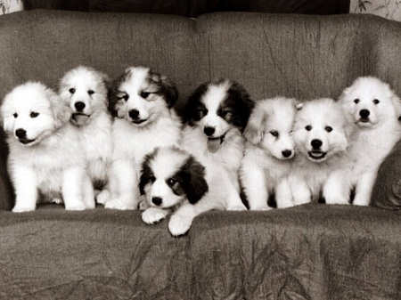 Pyrenean Mountain Dog puppies