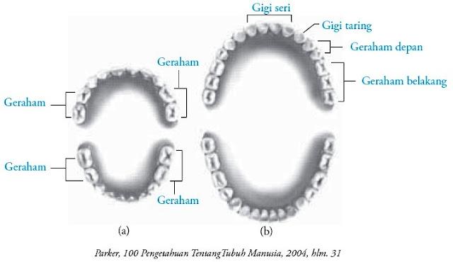 Gigi susu anak-anak gigi dewasa atau gigi tetap pada orang dewasa
