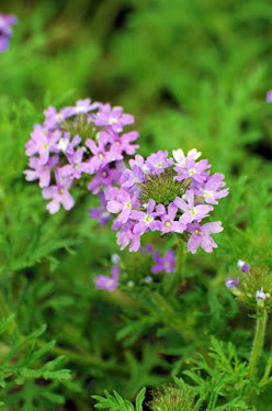 Prairie Verbena, Glandularia bipinnatifida