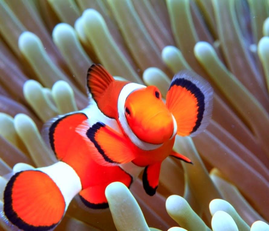 Desktop hd wallpapers free downloads clown fish hd wallpapers for Pictures of clown fish