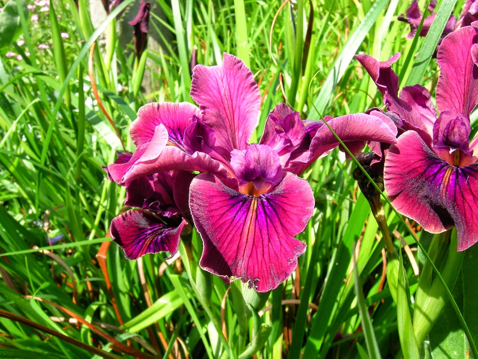 World of irises pci seed germination tricks the plants are sturdy in the coastal pacific northwest climate and flower color izmirmasajfo Choice Image