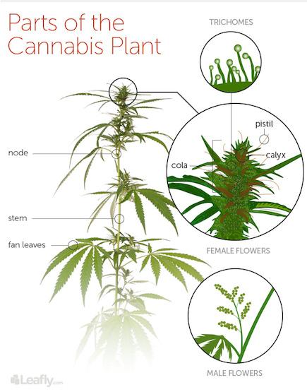Mr. Stinky\'s Green Garden: Marijuana Plant Anatomy