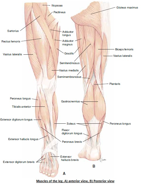 The Human Body Muscles Of Hip And Legs