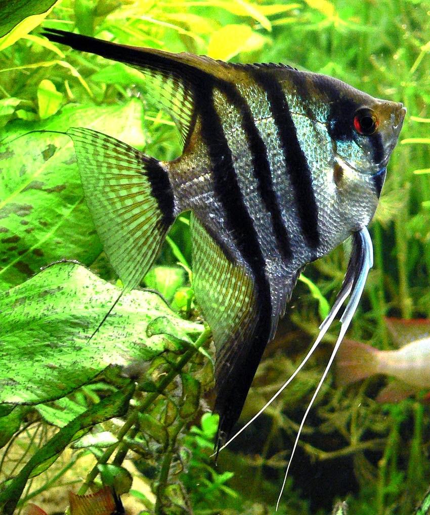 Acuario dictos for Peces ornamentales para acuarios