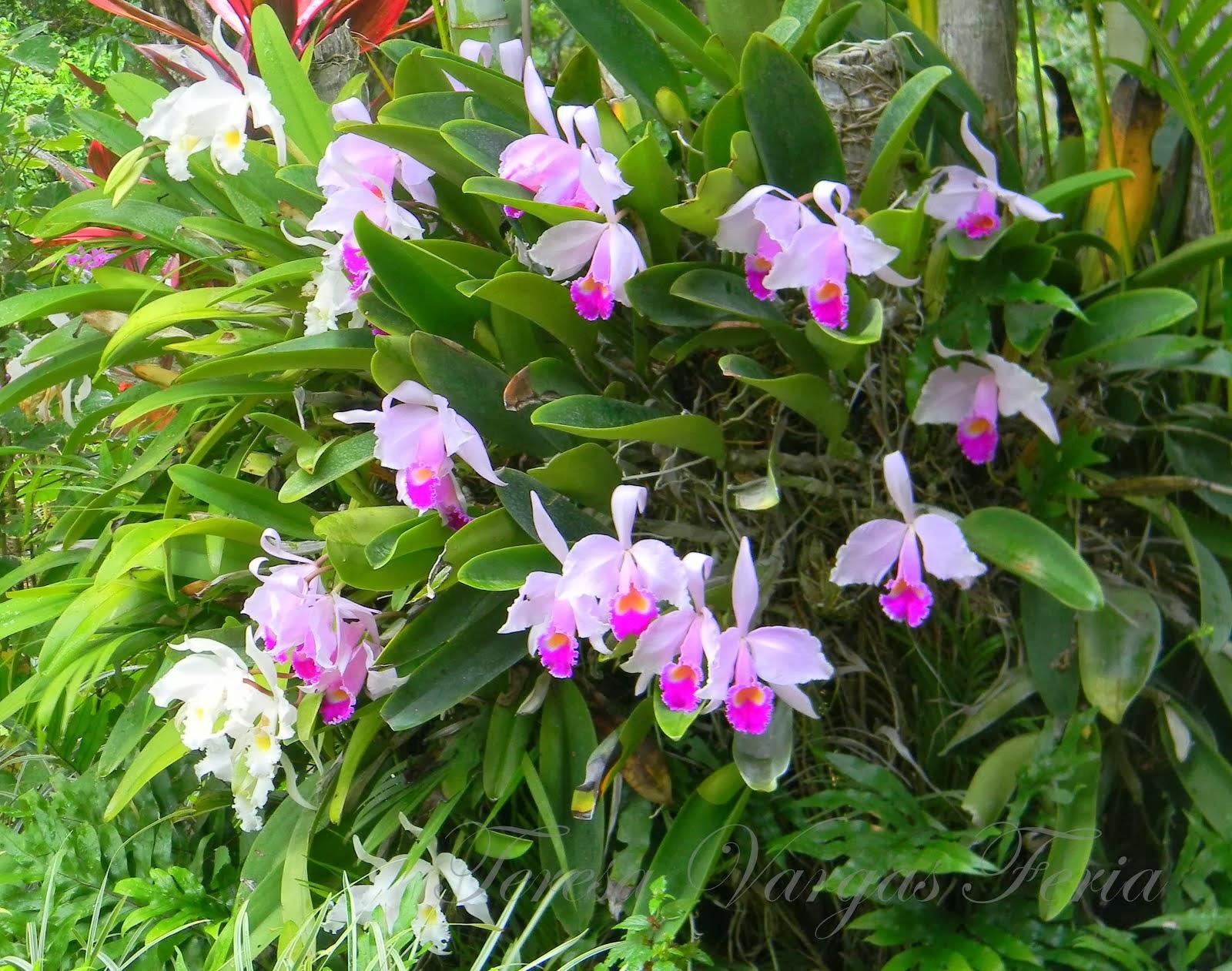 Orquideas del Tolima