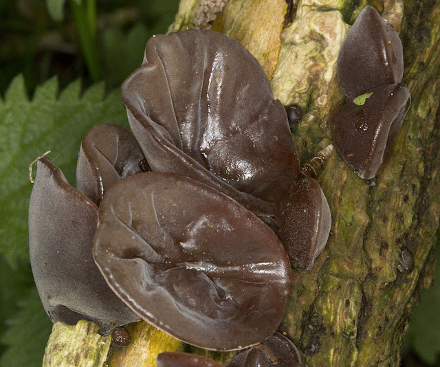 Jelly Ear, Auricularia auricula-judae, on fallen Elder, Sambucus nigra.  One Tree Hill, 27 April 2012.