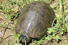 Il giardino delle naiadi tartarughe nel laghetto for Tartaruga da giardino
