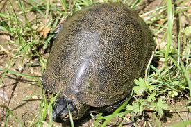Il giardino delle naiadi tartarughe nel laghetto for Laghetti tartarughe acquatiche