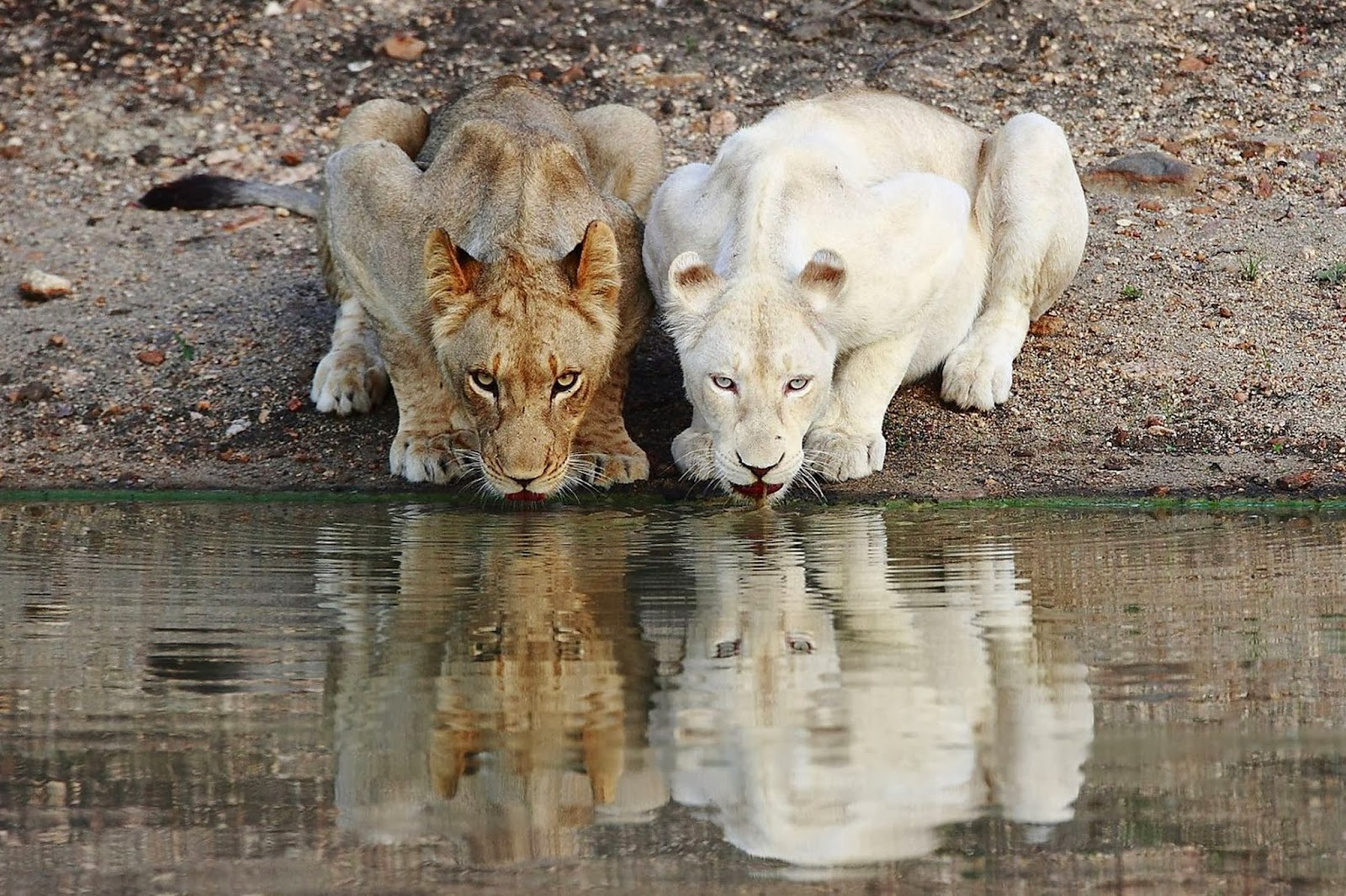 Albino Lion Pictures Albino lion
