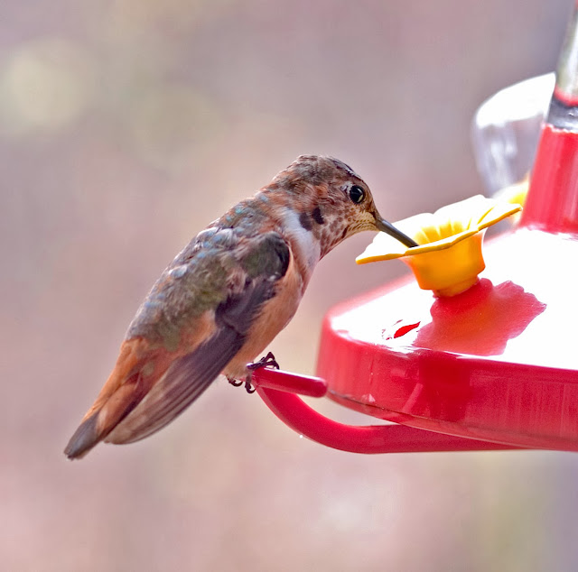 "Hummingbird: ""Where is the syrup of this flower?"""