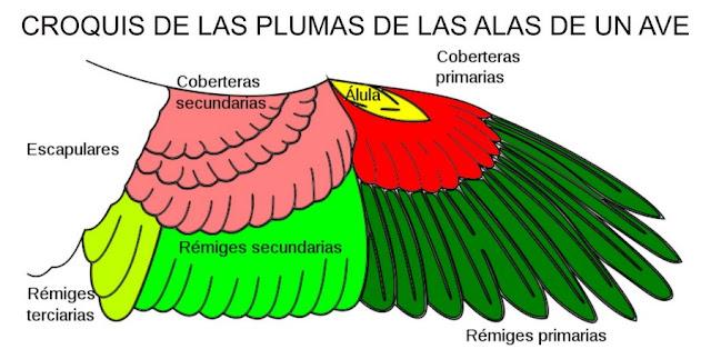 Croquis de las plumas de las alas de un ave - Fauna Iberica - Fauna Española - http://spanishfauna.blogspot.com.es