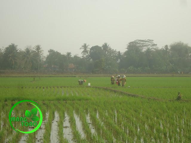FOTO : Suasana di sawah Cibandung, ada aktivitas ngagurul..
