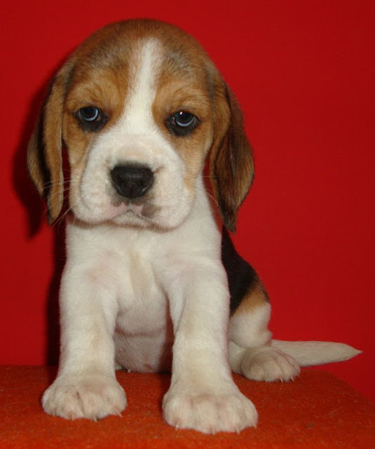 Cute and little beagle puppy