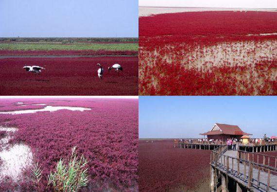 red beach01 من أجمل شواطئ العالم '' الشاطئ الأحمر '' في مدينة بانجين بالصين