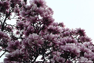 Magnolie Magnolia-soulangiana Tulpen-Magnolie Liliomfa beverboom
