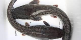 ikan lele jenis masamo