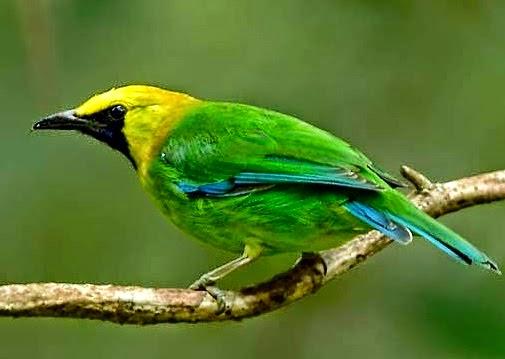 Gambar Cara Merawat Burung Cucak Ijo