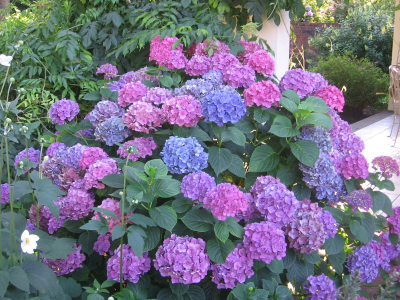 dr dan 39 s garden tips the range of hydrangea. Black Bedroom Furniture Sets. Home Design Ideas
