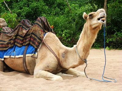 unta bali safariMenikmati Pantai Di Atas Unta Dengan Bali Camel Safari