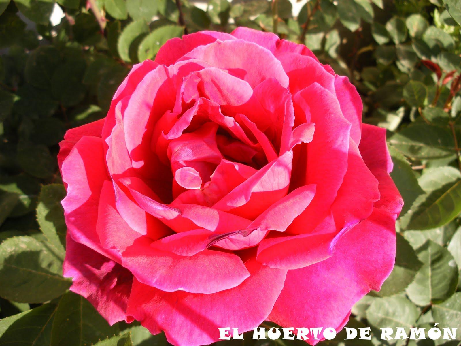 El huerto de ram n flores de plantas ornamentales ii for Una planta ornamental